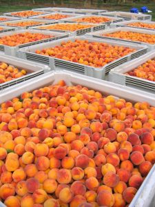 Niagara peaches ready for canning
